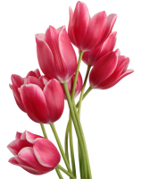 Tulips PNG image