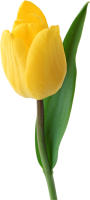 Yellow tulip PNG image