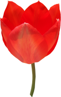Red tulip PNG image