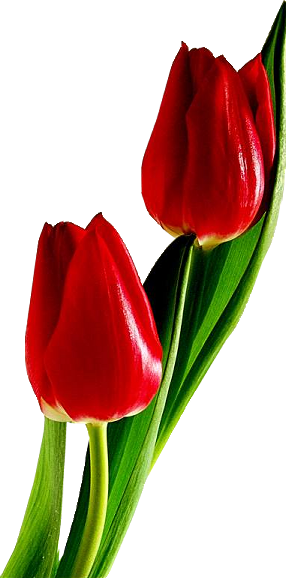 Red tulips PNG image