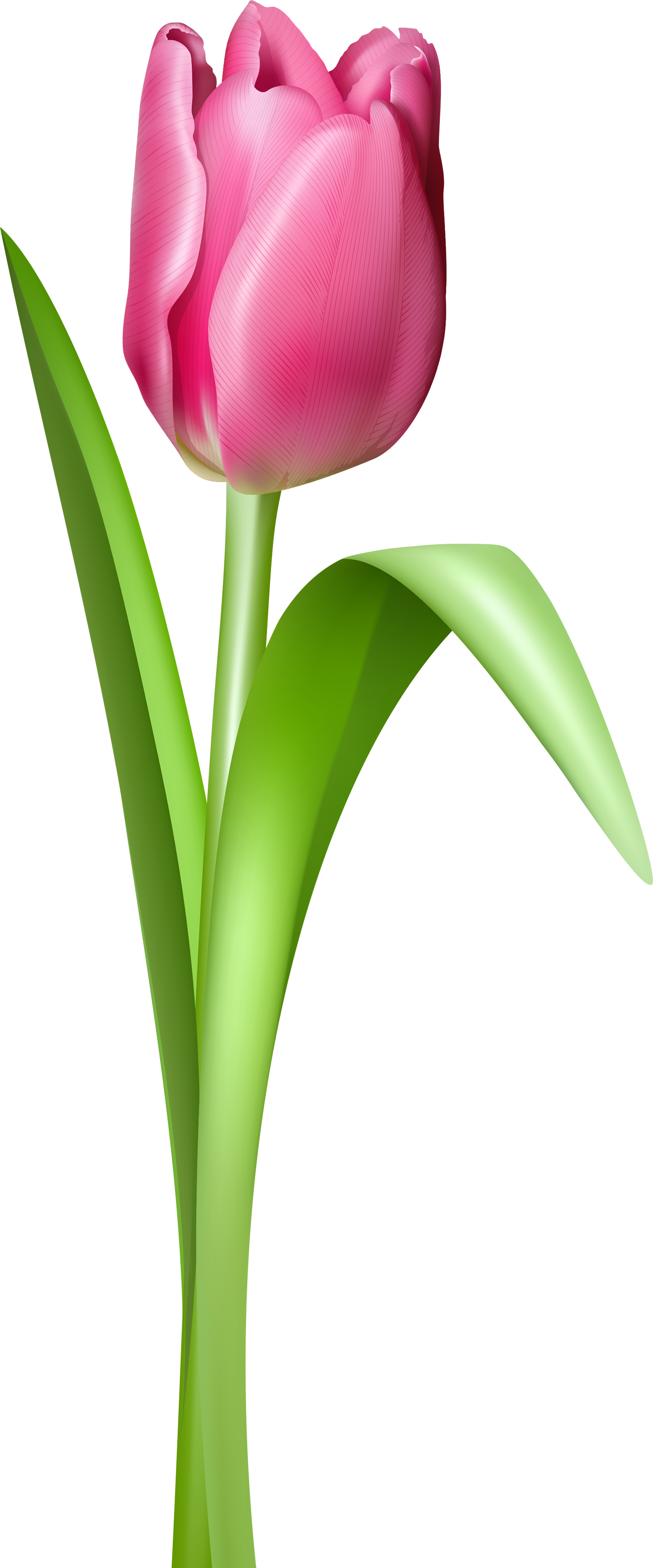 Tulip PNG image