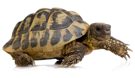 turtle png images free download