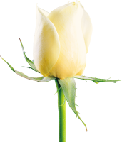 White rose PNG image, flower white rose PNG picture