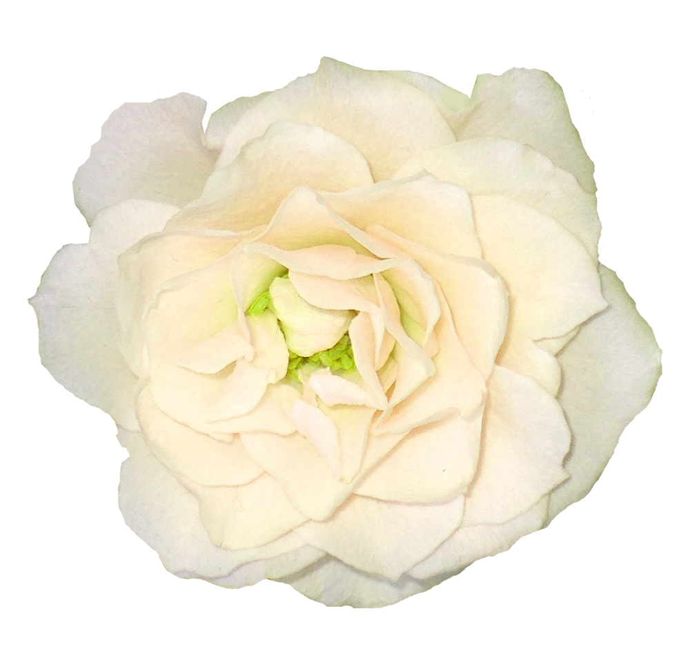 White roses PNG images Download