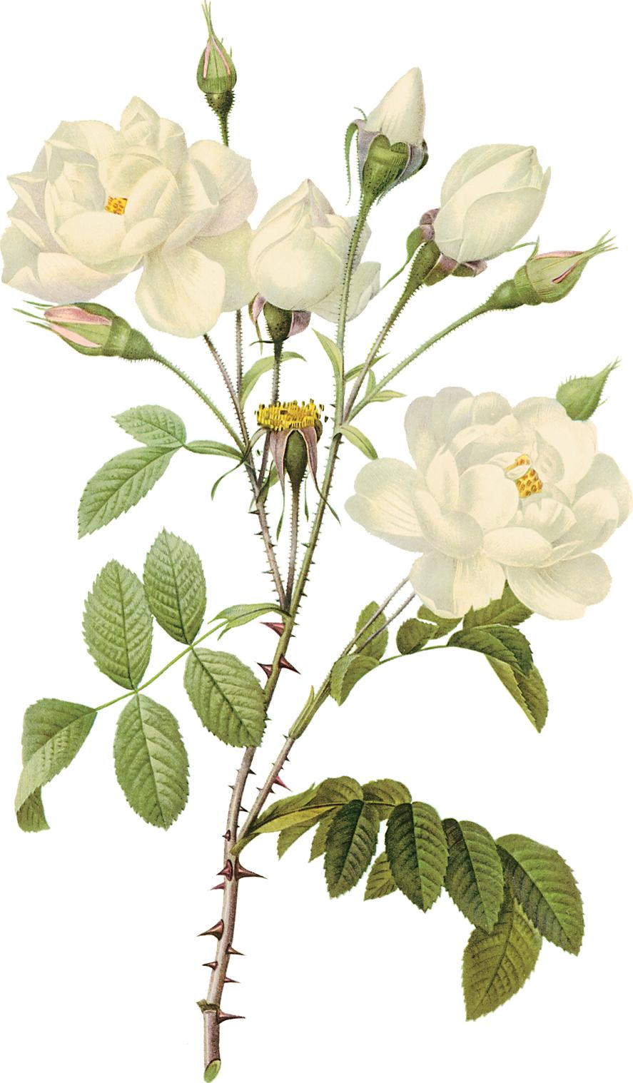 Rose petals png free stock photos download (2,789 Free ...