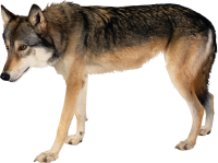 Wolf PNG image
