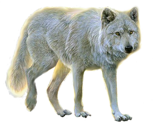 wolf png image, picture, download